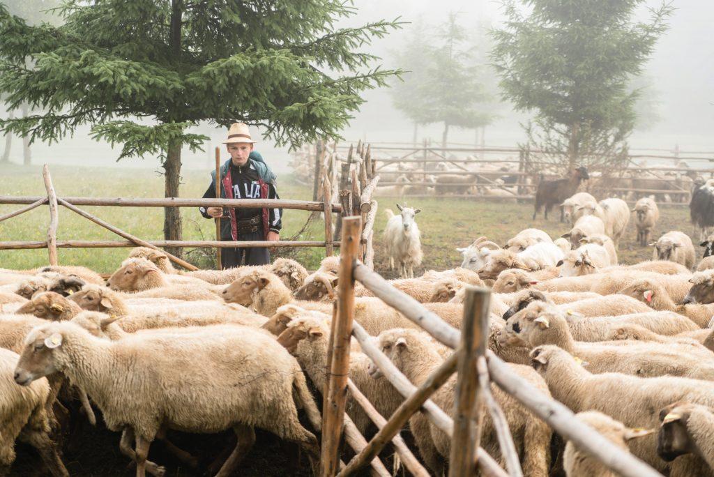 Csobotfalva, 2017. július 10.  Csibi Gyula, Csibi János felelõspásztor fia tereli a nyájat az erdélyi Csíkszeredához tartozó Csobotfalva közelében 2017. július 7-én. A csíksomlyói juhtartó gazdák áprilisban összegyûjtik az állataikat és azokat pásztorokra bízzák, akik egész nyáron a hegyi legelõkön tartják és gondozzák a juhokat. MTI Fotó: Veres Nándor
