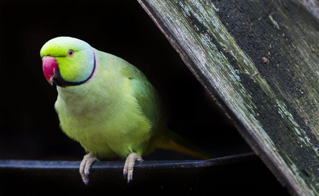 Hout Bay, 2017. augusztus 2. Indiai örvös sándorpapagáj (Psittacula krameri manillensis) a kifutójában, a dél-afrikai Fokvárostól 20 kilométerre, délnyugatra fekvõ Hout Bay madárrezervátumában 2017. augusztus 2-án. A mintegy négyszáz madárfaj több mint háromezer példányával büszkélkedõ park a legnagyobb madárrezervátum Afrikában. Az 1973-ban alapított, és jelenleg negyvenfõs állandó személyzettel mûködõ rezervátum és menhely különlegessége, hogy a látogatók szabadon sétálhatnak a száznál is több, tereptárgyakkal berendezett, tágas röpdében elhelyezett állat közt. (MTI/EPA/Nic Bothma)