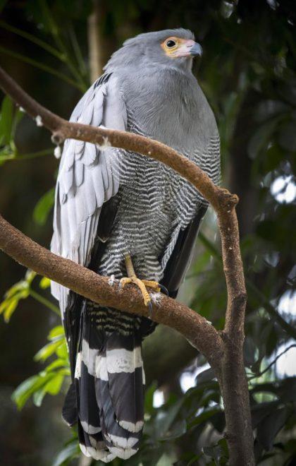 Hout Bay, 2017. augusztus 2. Afrikai odúhéja (Polyboroides typus) ül egy ágon a kifutójában, a dél-afrikai Fokvárostól 20 kilométerre, délnyugatra fekvõ Hout Bay madárrezervátumában 2017. augusztus 2-án. A mintegy négyszáz madárfaj több mint háromezer példányával büszkélkedõ park a legnagyobb madárrezervátum Afrikban. Az 1973-ban alapított, és jelenleg negyvenfõs állandó személyzettel mûködõ rezervátum és menhely különlegessége, hogy a látogatók szabadon sétálhatnak a száznál is több, tereptárgyakkal berendezett, tágas röpdében elhelyezett állat közt. (MTI/EPA/Nic Bothma)