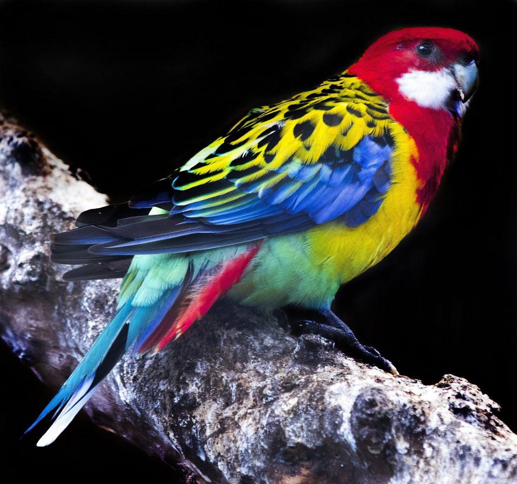 Hout Bay, 2017. augusztus 2. Rozellapapagáj (Platycercus eximius) a kifutójában, a dél-afrikai Fokvárostól 20 kilométerre, délnyugatra fekvõ Hout Bay madárrezervátumában 2017. augusztus 2-án. A mintegy négyszáz madárfaj több mint háromezer példányával büszkélkedõ park a legnagyobb madárrezervátum Afrikában. Az 1973-ban alapított, és jelenleg negyvenfõs állandó személyzettel mûködõ rezervátum és menhely különlegessége, hogy a látogatók szabadon sétálhatnak a száznál is több, tereptárgyakkal berendezett, tágas röpdében elhelyezett állat közt. (MTI/EPA/Nic Bothma)