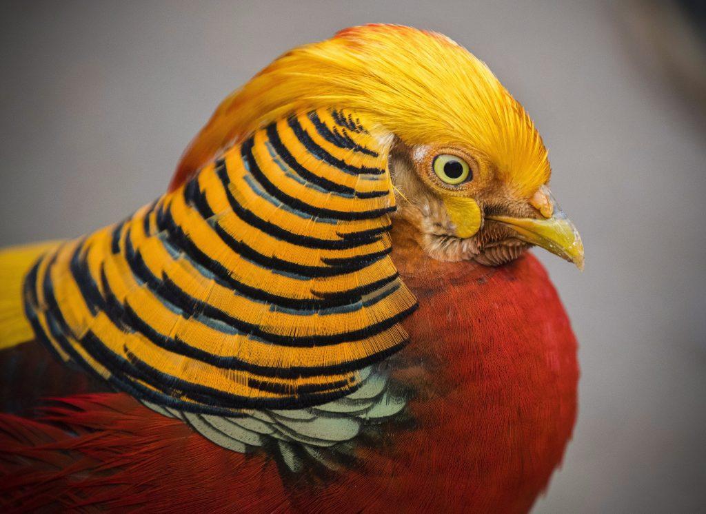 Hout Bay, 2017. augusztus 2. Aranyfácán (Chrysolophus pictus) a dél-afrikai Fokvárostól 20 kilométerre, délnyugatra fekvõ Hout Bay madárrezervátumában 2017. augusztus 2-án. A mintegy négyszáz madárfaj több mint háromezer példányával büszkélkedõ park a legnagyobb madárrezervátum Afrikban. Az 1973-ban alapított, és jelenleg negyvenfõs állandó személyzettel mûködõ rezervátum és menhely különlegessége, hogy a látogatók szabadon sétálhatnak a száznál is több, tereptárgyakkal berendezett, tágas röpdében elhelyezett állat közt. (MTI/EPA/Nic Bothma)