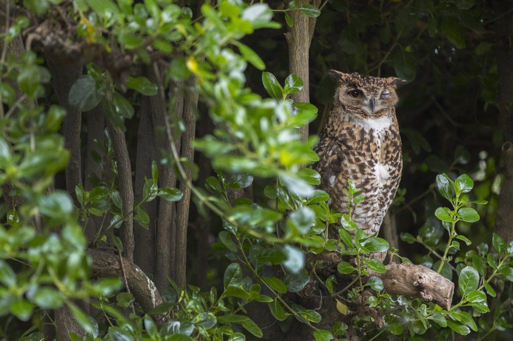 Hout Bay, 2017. augusztus 2. Afrikai uhu (Bubo africanus) ül egy ágon a kifutójában, a dél-afrikai Fokvárostól 20 kilométerre, délnyugatra fekvõ Hout Bay madárrezervátumában 2017. augusztus 2-án. A mintegy négyszáz madárfaj több mint háromezer példányával büszkélkedõ park a legnagyobb madárrezervátum Afrikban. Az 1973-ban alapított, és jelenleg negyvenfõs állandó személyzettel mûködõ rezervátum és menhely különlegessége, hogy a látogatók szabadon sétálhatnak a száznál is több, tereptárgyakkal berendezett, tágas röpdében elhelyezett állat közt. (MTI/EPA/Nic Bothma)