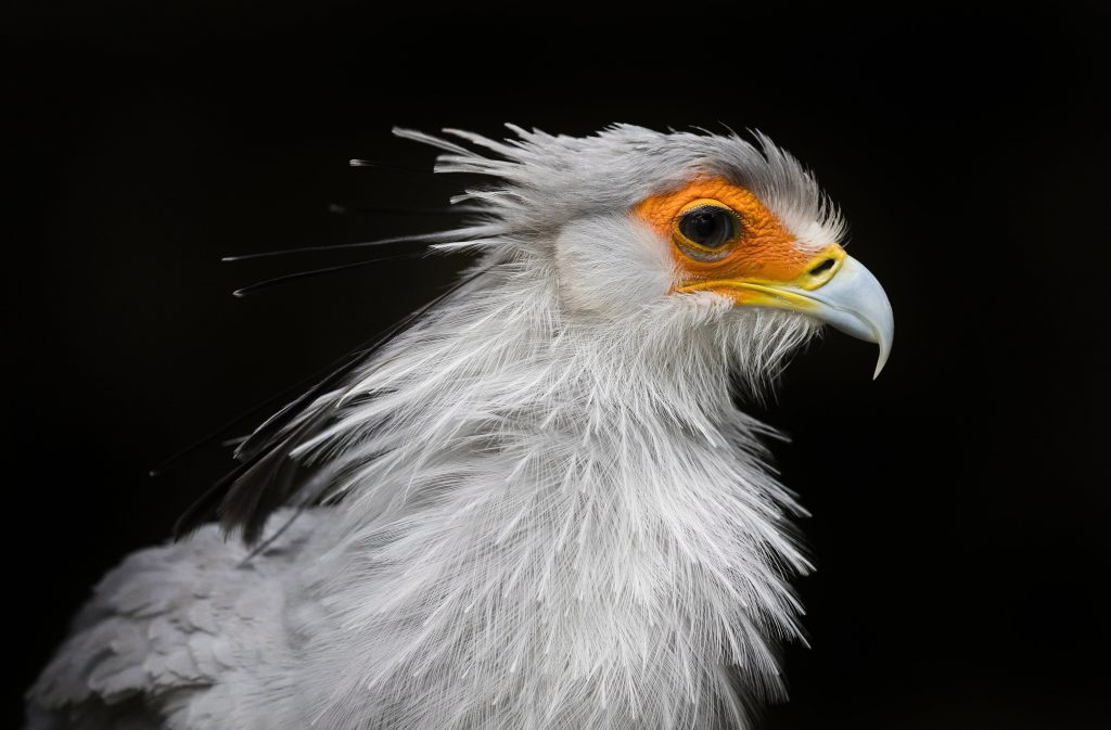 Hout Bay, 2017. augusztus 2. Kígyászkeselyû (Sagittarius serpentarius) a dél-afrikai Fokvárostól 20 kilométerre, délnyugatra fekvõ Hout Bay madárrezervátumában 2017. augusztus 2-án. A mintegy négyszáz madárfaj több mint háromezer példányával büszkélkedõ park a legnagyobb madárrezervátum Afrikban. Az 1973-ban alapított, és jelenleg negyvenfõs állandó személyzettel mûködõ rezervátum és menhely különlegessége, hogy a látogatók szabadon sétálhatnak a száznál is több, tereptárgyakkal berendezett, tágas röpdében elhelyezett állat közt. (MTI/EPA/Nic Bothma)