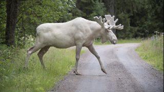 Gunnarskog, 2017. augusztus 14. 2017. augusztus 14-én közreadott kép egy fehér jávorszarvasról a svédországi Gunnarskog közelében július 31-én. 2017. augusztus 13-án az ország nyugati részén lefilmeztek egyet a becslések szerint mindössze száz példányban elõforduló ritka állatból. A fehér jávorszarvas nem albínó állat, hanem a ritka génállománya miatt ilyen. (MTI/EPA/Tommy Pedersen)