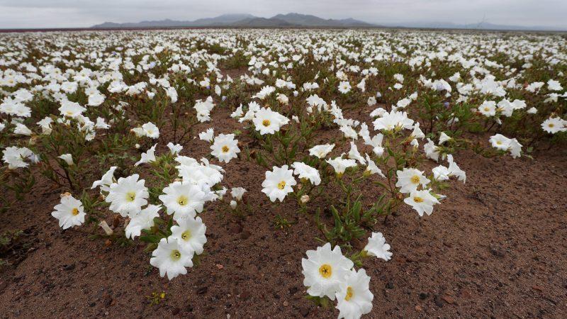 Atacama-sivatag, 2017. augusztus 23. A virágba borult Atacama-sivatag Chilében 2017. augusztus 22-én. A Föld egyik legszárazabb területén, ahol van, hogy évekig egy csepp esõ nem esik, a téli hónapokban esett csapadékmennyiségnek köszönhetõen színes virágok borították be az egész sivatagot. (MTI/EPA/Mario Ruiz)