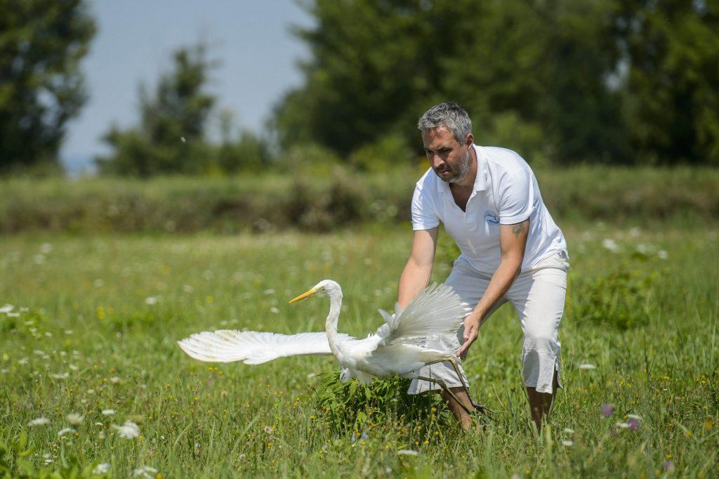 Mályi, 2017. augusztus 1.Lehoczky Krisztián, a Mályi Természetvédelmi Egyesület elnöke, a mályi madármentõ állomás vezetõje egy felgyógyult nagy kócsagot (Ardea alba) enged szabadon Mályi határában 2017. július 31-én. Az egyesület madármentõ állomása mentési és tanácsadási céllal mûködik, munkatársai a település 30-40 kilométeres körzetében segítenek a rászoruló madarakon és kisemlõsökön.MTI Fotó: Komka Péter