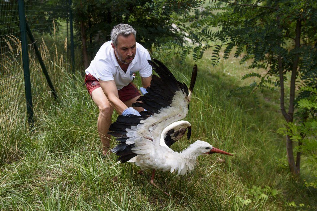 Hejõpapi, 2017. augusztus 1.Lehoczky Krisztián, a Mályi Természetvédelmi Egyesület elnöke, a mályi madármentõ állomás vezetõje egy sérült szárnyú fehér gólyát (Ciconia ciconia) fog be Hejõpapiban 2017. július 31-én. Az egyesület madármentõ állomása mentési és tanácsadási céllal mûködik, munkatársai a település 30-40 kilométeres körzetében segítenek a rászoruló madarakon és kisemlõsökön.MTI Fotó: Komka Péter