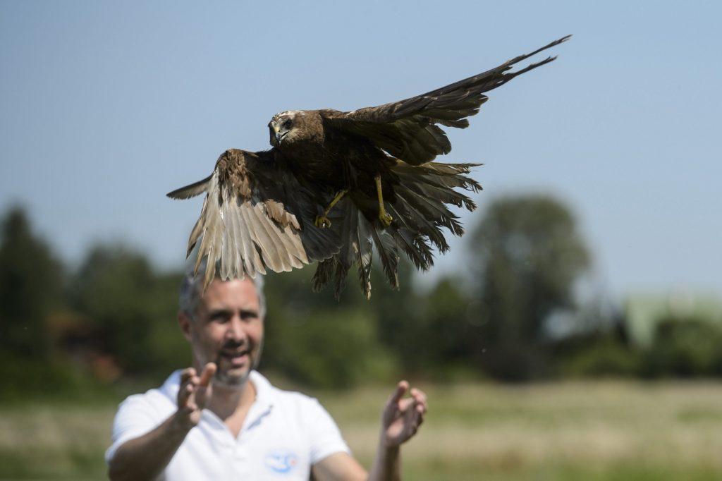 Mályi, 2017. augusztus 1.Lehoczky Krisztián, a Mályi Természetvédelmi Egyesület elnöke, a mályi madármentõ állomás vezetõje egy barna rétihéját (Circus aeruginosus) reptet Mályi határában 2017. július 31-én. Az egyesület madármentõ állomása mentési és tanácsadási céllal mûködik, munkatársai a település 30-40 kilométeres körzetében segítenek a rászoruló madarakon és kisemlõsökön.MTI Fotó: Komka Péter