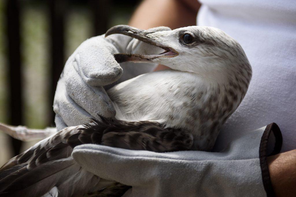 Mályi, 2017. augusztus 1.Lehoczky Krisztián, a Mályi Természetvédelmi Egyesület elnöke, a mentõállomás vezetõje egy sérült sárgalábú sirályt (Larus michahellis) tart a mályi madármentõ állomáson 2017. július 31-én. Az egyesület madármentõ állomása mentési és tanácsadási céllal mûködik, munkatársai a település 30-40 kilométeres körzetében segítenek a rászoruló madarakon és kisemlõsökön.MTI Fotó: Komka Péter