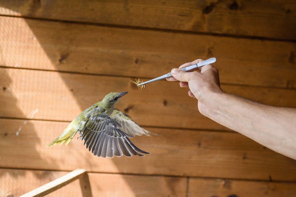 Mályi, 2017. augusztus 1.Lehoczky Krisztián, a Mályi Természetvédelmi Egyesület elnöke, a mentõállomás vezetõje egy sárgarigót (Oriolus oriolus) etet a mályi madármentõ állomáson 2017. július 27-én. Az egyesület madármentõ állomása mentési és tanácsadási céllal mûködik, munkatársai a település 30-40 kilométeres körzetében segítenek a rászoruló madarakon és kisemlõsökön.MTI Fotó: Komka Péter