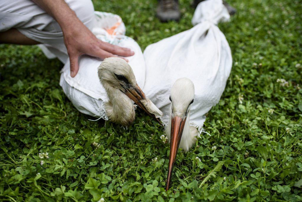 Mályi, 2017. augusztus 1.Szállításra elõkészített sérült fehér gólyák (Ciconia ciconia) a mályi madármentõ állomáson 2017. július 27-én. A Mályi Természetvédelmi Egyesület madármentõ állomása mentési és tanácsadási céllal mûködik, munkatársai a település 30-40 kilométeres körzetében segítenek a rászoruló madarakon és kisemlõsökön.MTI Fotó: Komka Péter