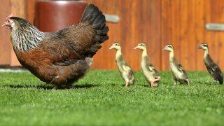 Altheim-Waldhausen, 2017. augusztus 16. Emma, a tyúkanyó négy fogadott kiskacsájával a dél-németországi Altheim-Waldhausenben 2017. augusztus 16-án. Emma mama költötte ki a tojásokat és azóta is sajátjaiként neveli a kacsacsibéket. (MTI/AP/DPA/Thomas Warnack)