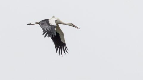 Ludányhalászi, 2015. december 26. A Január nevû fehér gólya (Ciconia ciconia) Ludányhalásziban 2015. december 26-án. A madár rendszeresen tölti a hideg hónapokat az Ipoly-völgyben, felbukkanását elõször 2014 januárjában jelezték a Magyar Madártani és Természetvédelmi Egyesületnek. MTI Fotó: Komka Péter