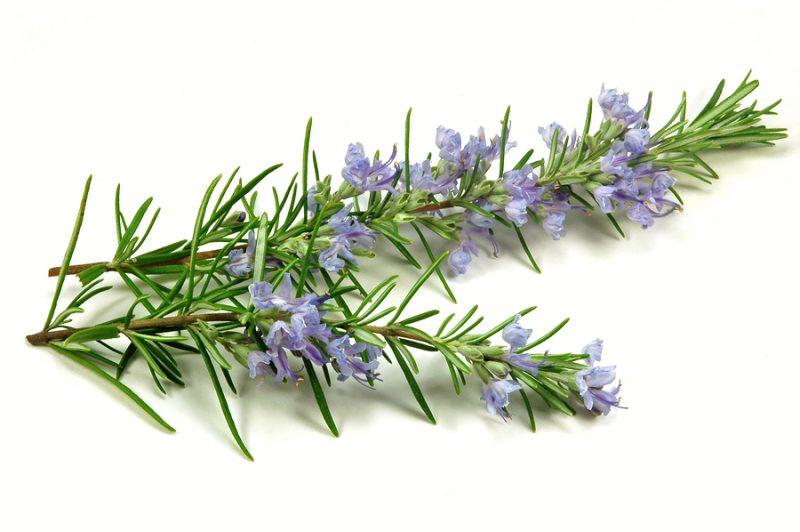 Rosemary herb flowering in spring