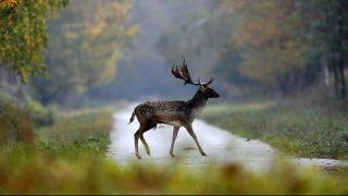 Barcs, 2017. október 22. Dámszarvasbika (Dama dama) a SEFAG Zrt. barcsi erdészetének területén 2017. október 20-án. Október elejétõl november közepéig tart a dámvadak párzása, üzekedése, azaz barcogása. MTI Fotó: Kovács Attila