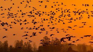Balmazújváros, 2017. október 15. Szürke darvak (Grus grus) repülnek éjszakázó helyükre naplementekor a Keleti-víztározó felett, Balmazújváros közelében 2017. október 15-én. A hortobágyi puszta egyik leglátványosabb természeti eseménye az õszi daruvonulás. A darvak európai vonulási útvonalai közül az egyik Magyarországon vezet keresztül, az egyik legnagyobb darugyülekezõ hely pedig a Hortobágyi Nemzeti Park területén van. MTI Fotó: Czeglédi Zsolt