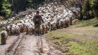 Csíkszereda, 2017. április 26.  Csibi János felelõspásztor vezeti az állatokat az esztenához, a hegyi szálláshoz az erdélyi Csíkszeredához tartozó Nagy-Somlyó hegy oldalában lévõ erdõn keresztül 2017. április 25-én. A csíksomlyói juhtartó gazdák összegyûjtik az állataikat és azokat pásztorokra bízzák, akik egész nyáron a hegyi legelõkön tartják és gondozzák a juhokat. MTI Fotó: Veres Nándor