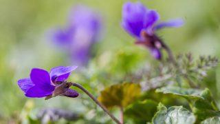 Gádoros, 2017. október 14. Virágzik az ibolya (Viola odorata) a szokatlan melegben a Békés megyei Gádoroson 2017. október 14-én. MTI Fotó: Rosta Tibor