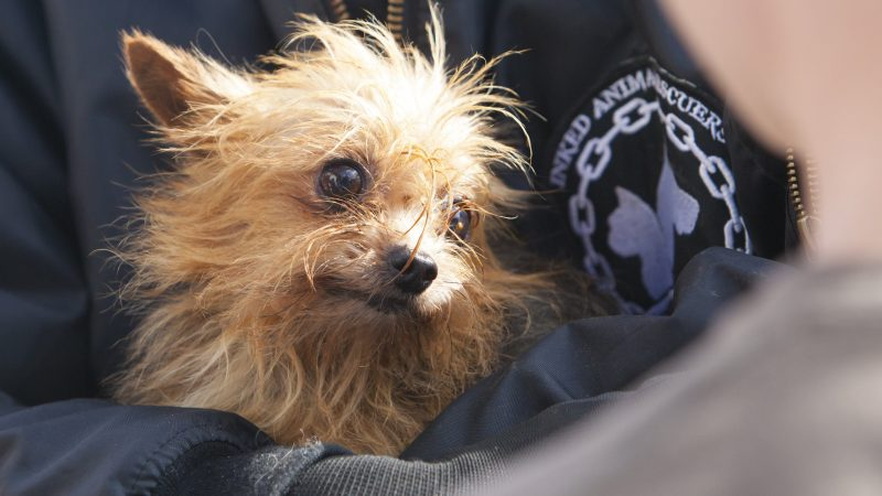 Söjtör, 2017. október 4. Lefoglalt kutyát tart kezében egy állatmentõ egy lakatlan családi ház udvarán Söjtörön 2017. október 4-én. A birtokon különbözõ fajtájú kutyákat tenyésztett eladásra egy német állampolgárságú nõ, aki az ebeket rendkívül mostoha körülmények között tartotta. Az állatvédõk feljelentése nyomán indult eljárás során rendõrök jelenléte mellett kezdték meg a kutyatelep felszámolását. MTI Fotó: Varga György