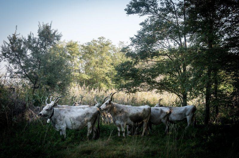 Dunatetétlen, 2017. október 2. Magyar szürke szarvasmarhák a Kiskunsági Nemzeti Parkban kialakított új helyükön, a Böddi-széken, Dunatetétlen közelében 2017. október 2-án. Ezen a napon érkezett meg az elsõ két állatszállítmány Izsákról. A területen EU-s forrásból a hagyományos külterjes állattartás újjáélesztését tervezi a park 300 szürke marha áttelepítésével. MTI Fotó: Ujvári Sándor