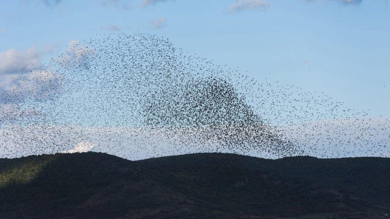 Tolcsva, 2017. október 6. Seregélyek (Sturnus vulgaris) repülnek Tolcsva határában 2017. október 6-án. MTI Fotó: Balázs Attila