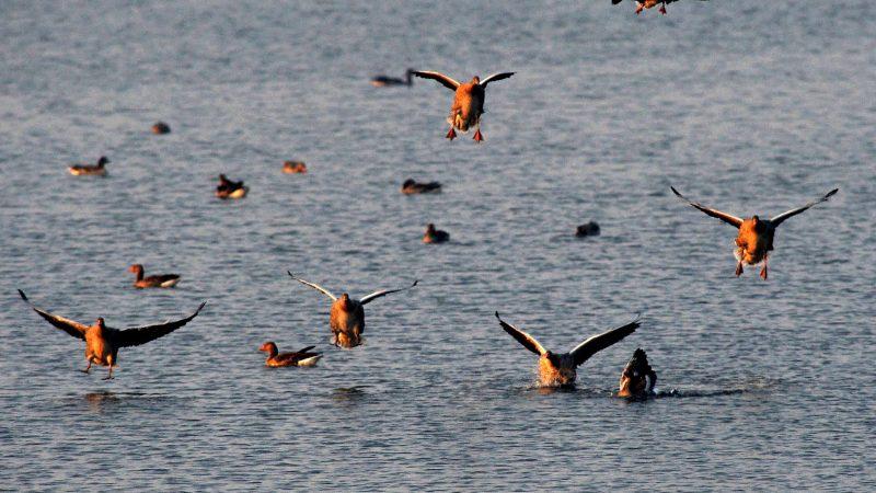 Tata, 2011. november 26. A tóra leszálló vadludak. Közel tízezernyi vadlúd vonulását és az Öreg-tóról való kirepülését figyelhetik meg az érdeklõdõk a hétvégén, a XI. Tatai Vadlúd Sokadalom rendezvényén. Az eurázsiai tundrák vidékérõl érkezõ vadludak évszázadokkal ezelõtt itt, a tatai Öreg-tó leeresztett medrében, a hajdan volt mocsárvidéken találtak pihenõhelyet maguknak hosszú vonulásuk során. Minden év novemberében visszatérnek, hogy a telet nálunk töltsék, majd február végén, március elején visszainduljanak északi költõhelyeik felé. MTI Fotó: Kovács Attila