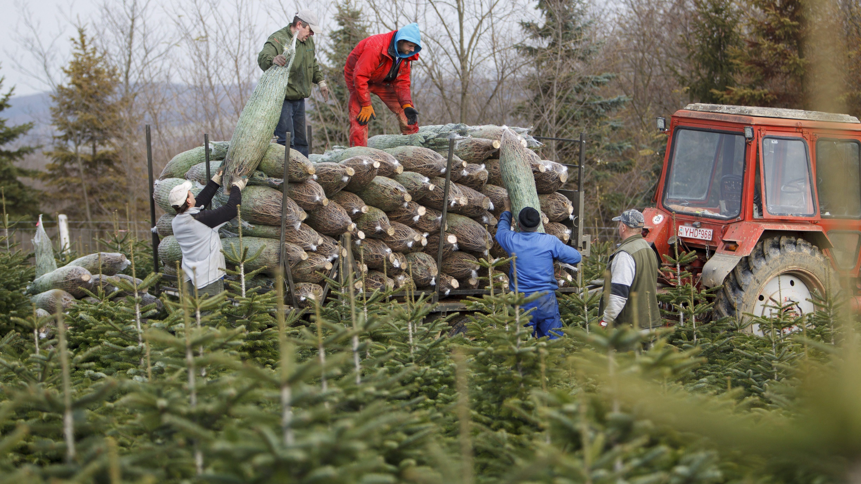 Nemespátró, 2017. november 25. Kivágott fenyõket pakolnak egy traktor pótkocsijára Dömötörfy János birtokán a Zala megyei Nemespátrón 2017. november 25-én. Az ország egyik legnagyobb fenyõnevelõ térségében elkezdõdött a karácsonyfák kivágása. MTI Fotó: Varga György