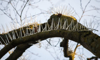 """Pigeon spikes that have been attached two trees which overhang the parking area outside a posh property in Clifton, Bristol. See SWNS story SWSPIKES; A Twitter user has expressed outrage at the use of 'anti-bird spikes' in Clifton trees to protect expensive cars from droppings. The spikes – which are usually used to stop birds resting and building nests on ledges and nooks on buildings – have been nailed to two trees in the front garden of Essendene House and Heathfield House between Clifton Down and Pembroke Road. The properties are privately owned flats and one resident has confirmed the spikes are """"solely to to protect cars"""" - which include a number of expensive BMWs and Audis - from bird poo. The measure has upset social media manager Jennifer Garrett, who took to Twitter to vent her frustration. She said: """"Our war on wildlife: now birds are not allowed in trees...?!"""