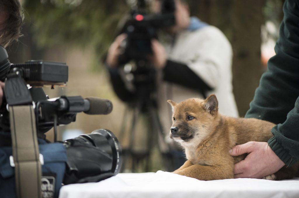 Nyíregyháza, 2018. január 8. A héthetes dingó kölyök (Canis lupus dingo) a sajtóbemutatón a Nyíregyházi Állatparkban 2018. január 8-án. A három éve Csehországból érkezett ausztrál vadkutya 63 napos vemhesség után egy kotorékban hozta világra kicsinyét az állatparkban. MTI Fotó: Balázs Attila