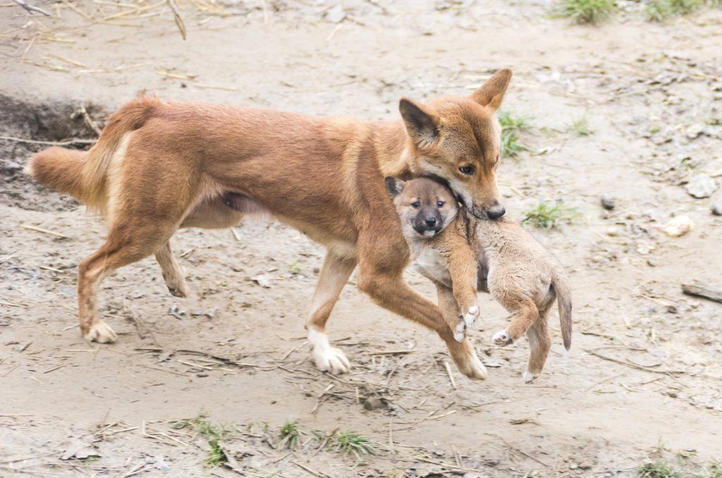 Nyíregyháza, 2018. január 8. A nõstény dingó (Canis lupus dingo) szájában viszi héthetes kölykét a Nyíregyházi Állatparkban 2018. január 8-án. A három éve Csehországból érkezett ausztrál vadkutya 63 napos vemhesség után egy kotorékban hozta világra kicsinyét az állatparkban. MTI Fotó: Balázs Attila