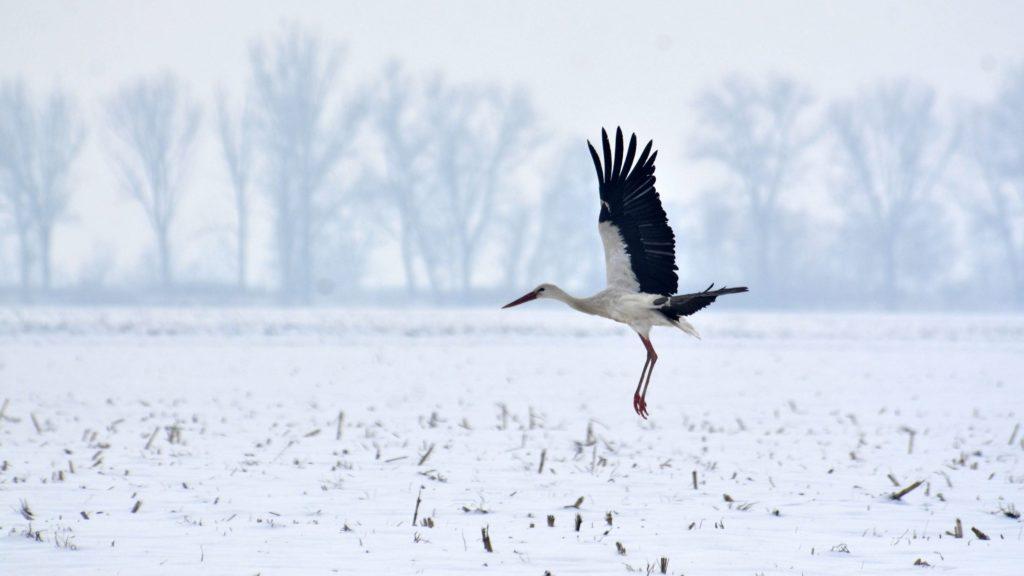 Tiszavárkony, 2014. január 30. Egy gólya Tiszavárkony határában 2014. január 30-án. A madár nem költözött el, és a fagyos, havas határban nehezen talál élelmet, ezért a településen lakók etetik. MTI Fotó: Mészáros János