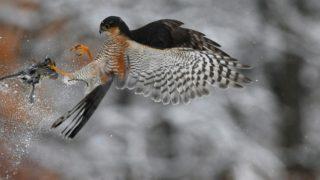 Pomáz, 2018. február 27. Karvaly (Accipiter nisus) vadászik a hóesésben Pomáz környékén 2018. február 27-én. MTI Fotó: Kovács Attila