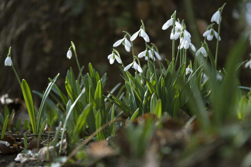 Alcsútdoboz, 2014. február 20. Az enyhe télben nyílik a hóvirág az Alcsúti Arborétumban, Alcsútdobozon 2014. február 20-án. MTI Fotó: Koszticsák Szilárd
