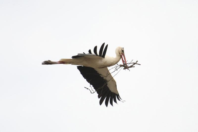 Kenderes, 2009. március 27. Fehér gólya (Ciconia ciconia) repül a Jász-Nagykun-Szolnok megyei Kendereshez tartozó Bánhalmán. A megye idei elsõ gólyájának érkezése nagy esemény a kistelepülésen, ahol mindössze egyetlen pár gólya költ, amelyek negyedszázadnál is régebbi fészkét tavaly nyáron egy vihar lesodorta. A hím madár azonban visszatért és nagy mûgonddal építi a régi villanyoszlopon új otthonát. MTI Fotó: Bugány János