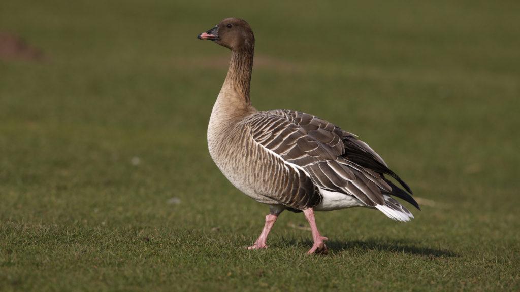 Pink-footed goose, Anser brachyrhynchus, Scotland, spring