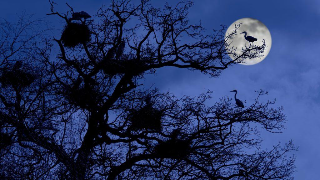 Grey herons (Ardea cinerea) breeding on nests in tree at heronry / heron rookery silhouetted at night with full moon in spring   Hérons cendrés (Ardea cinerea) nichent dans arbre dans héronnière, silhouette pendant nuit avec pleine lune en printemps 14/03/2018