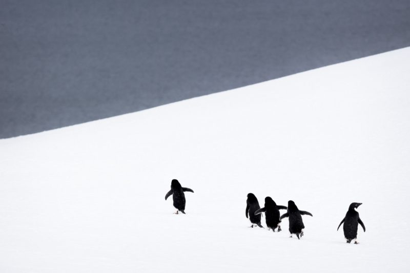 Adelie penguins walking on snow - Antarctica.    Biosphoto / Meril Darees