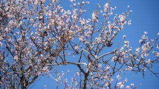 Pécs, 2018. március 12. Virágzó mandulafa (Prunus dulcis) Pécsen 2018. március 12-én. MTI Fotó: Sóki Tamás