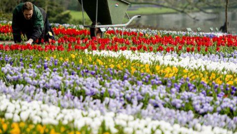 Keukenhof, 2015. március 17. Egy kertész dolgozik tulipánok között a nyugat-hollandiai Lisse közelében fekvõ Keukenhof virágparkjában 2015. március 17-én. A hollandiai Keukenhof a világ egyik legnagyobb virágoskertje, amelyet a tavaszi hónapokban százezrek keresnek fel. (MTI/EPA/Robin Van Lonkhuijsen)