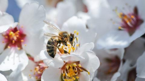 Debrecen, 2018, április 8. A kedvezõ idõjárásnak köszönhetõen virágot bontottak a mandulafák (Prunus dulcis), a tavasz egyik elsõ hírnökei. A szirmok között poszméhek (Bombus) gyûjtenek nektárt és virágport, közben beporozzák a gyümölcsfa virágait. MTVA/Bizományosi: Oláh Tibor  *************************** Kedves Felhasználó! Ez a fotó nem a Duna Médiaszolgáltató Zrt./MTI által készített és kiadott fényképfelvétel, így harmadik személy által támasztott bárminemû – különösen szerzõi jogi, szomszédos jogi és személyiségi jogi – igényért a fotó készítõje közvetlenül maga áll helyt, az MTVA felelõssége e körben kizárt.