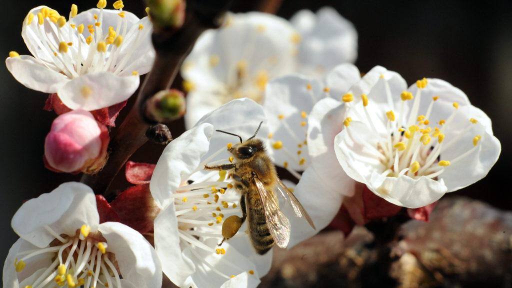 Polgár, 2011. április 3. Kibomlott a kajszibarack (Prunus armeniaca) virága Polgár térségében az utóbbi napok meleg, napfényes idõjárásának hatására. A kinyílt virágokon megjelentek a méhek, melyek nektárgyûjtés közben beporozzák a gyümölcsfa virágait. MTI Fotó: Oláh Tibor