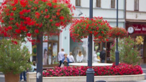 Kaposvár, 2017. szeptember 16. Virágok a Kossuth téren, Kaposvár fõterén 2017. szeptember 16-án. A legszebb fõtérnek járó különdíjat nyerte el a város az idei Európai Virágos Városok és Falvak Versenyén (Entente Florale Europe). A díjat szeptember 15-én adták át. MTI Fotó: Varga György