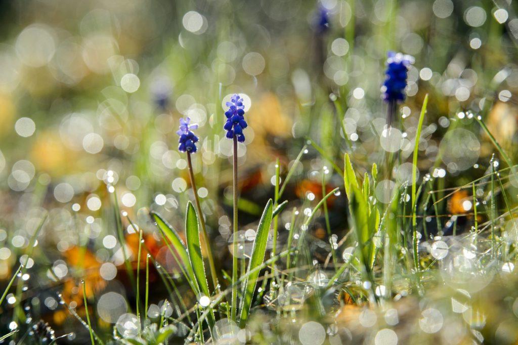 Ajnácskõ, 2018. április 11. Fürtös gyöngyike (Muscari neglectum) virágzik a Tilics csúcsán a felvidéki Ajnácskõ közelében 2018. április 11-én. MTI Fotó: Komka Péter