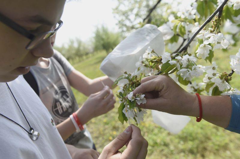 Érd, 2018. április 18. Diákok cseresznyefa virágát porozzák be a Nemzeti Agrárkutatási és Innovációs Központ (NAIK) Gyümölcstermesztési Kutatóintézetének gyümölcs génbankjában az érdi Elvira majorban 2018. április 18-án. Az érdi gyûjteményben - amely megnyitja kapuit a nagyközönség elõtt - tizenegy gyümölcsfaj 1990 regisztrált tételét õrzik. MTI Fotó: Bruzák Noémi