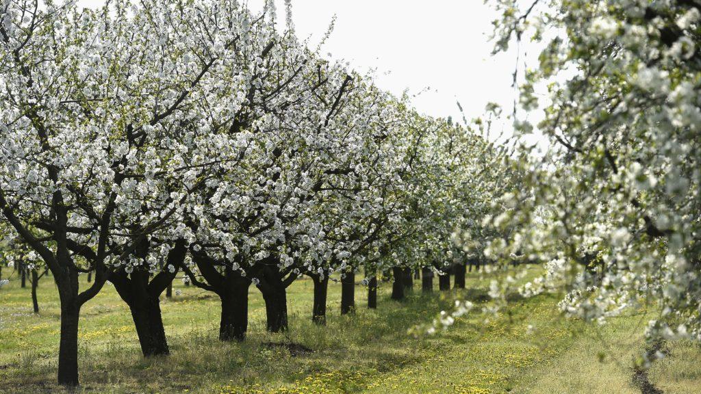 Érd, 2018. április 18. Virágzó cseresznyefák a Nemzeti Agrárkutatási és Innovációs Központ (NAIK) Gyümölcstermesztési Kutatóintézetének gyümölcs génbankjában az érdi Elvira majorban 2018. április 18-án. Az érdi gyûjteményben - amely megnyitja kapuit a nagyközönség elõtt - tizenegy gyümölcsfaj 1990 regisztrált tételét õrzik. MTI Fotó: Bruzák Noémi