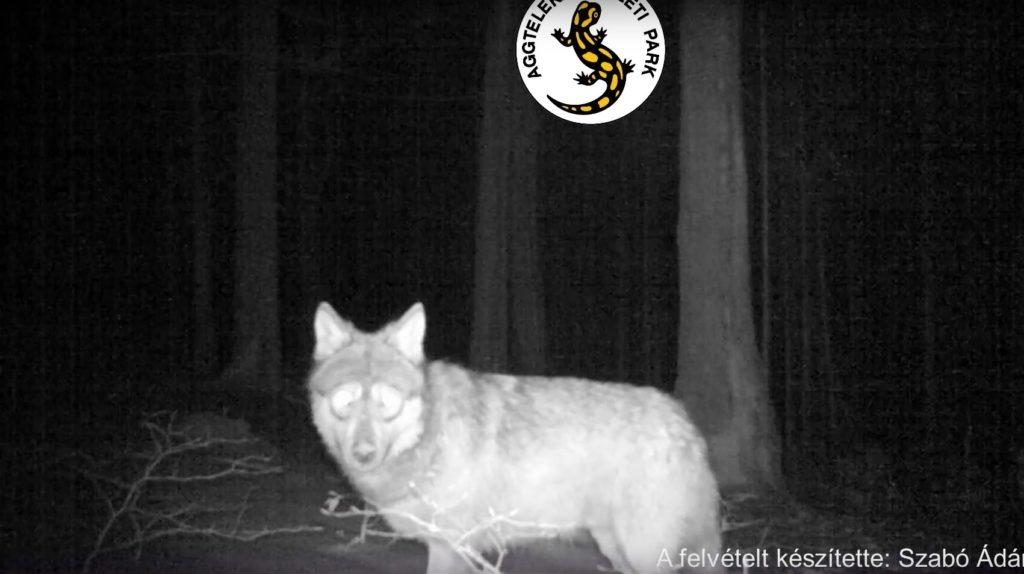 farkas kameracsapda nemzeti park