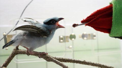 Prága, 2018. április 17. Fiatal jávai zöld szarkát (Cissa thalassina) etet csõrt imitáló kesztyûben egy gondozó a Prágai Állatkertben 2018. április 17-én. A kihalással fenyegetett faj kizárólag az indonéz sziget hegyvidéki erdeiben honos, ahol a helybeliek tömegesen fogják be a madarakat, hogy a jellegzetes énekük és a felnõtt egyedek színpompás megjelenése miatt díszállatként tartsák õket. A vadon élõ példányok a tollazatuk élénkzöld színét a lutein nevû pigmentet termelõ rovarokból nyerik, a fogságban tartott zöld szarkák viszont az ilyen táplálék hiányában idõvel kékre váltanak. (MTI/AP/Petr David Josek)