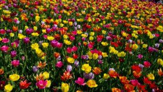 Keukenhof, 2018. április 20. Turisták tulipánok között a nyugat-hollandiai Lisse közelében fekvõ Keukenhof virágparkjában 2018. április 20-án. A hollandiai Keukenhof a világ egyik legnagyobb virágoskertje, amelyet a tavaszi hónapokban százezrek keresnek fel. (MTI/AP/Peter Dejong)