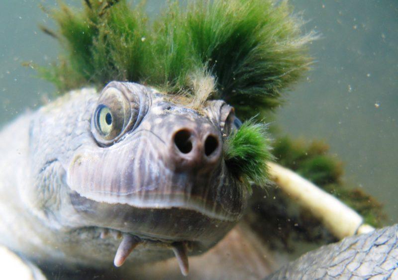 2018. április 13. A Londoni Állattani Társaság által 2018. április 13-án közreadott dátummegjelölés nélküli kép az ausztráliai Mary folyó medencéjének oxigénben gazdag vizeiben élõ zöld hajú teknõsrõl. A Mary folyói teknõs, amelynek  hátát és fejét rendszerint benövi az alga, felkerült az evolúciós szempontból sajátos és globálisan veszélyeztetett hüllõk 30-as listájára. (MTI/EPA/Londoni Állattani Társaság/Chris Van Wyk)