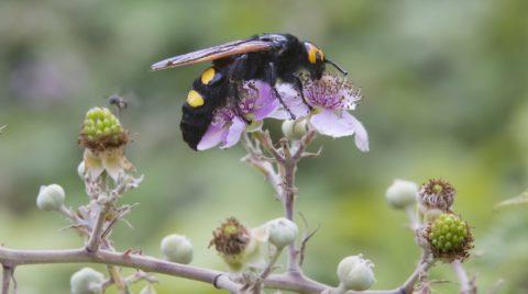 HYÈRES AREA  Mammoth Wasp on flowers - Massif des Maures.    Biosphoto / André Simon